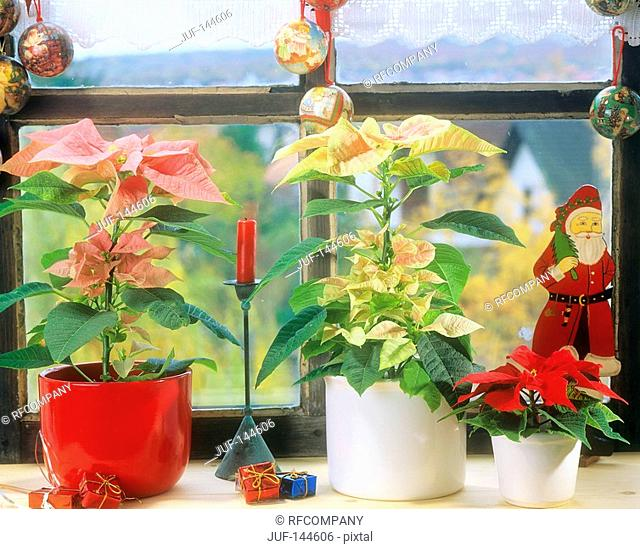 Poinsettias on window sill / Euphorbia pulcherrima