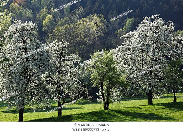 Austria, Lower Austria, Waldviertel, Mostviertel, Blossoming pear trees