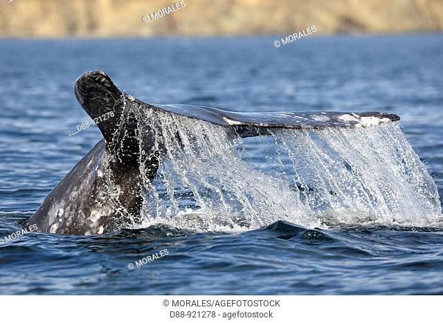 Gray Whale (Eschrichtius robustus), Pacific Ocean, Mexico