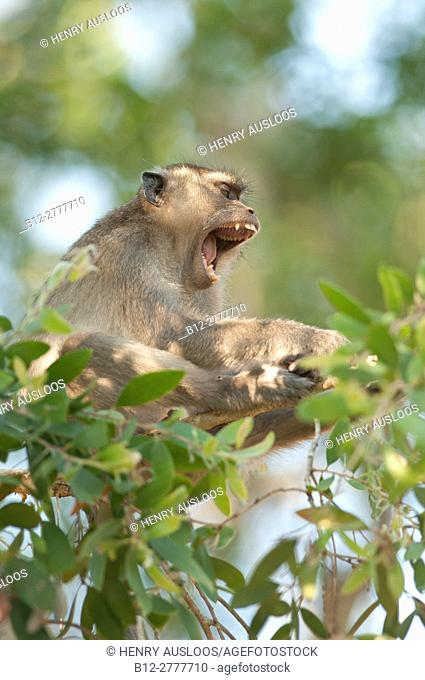 Crab-eating Macaque, Long-tailed Macaque (Macaca fascicularis), open mouth, Thailand