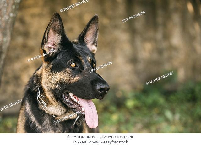 The Portrait Of Staring Purebred Short-Haired German Shepherd Adult Dog Or Alsatian Wolf Dog With Prick-Ears, Opened Jaws, Tongue, Teeth. Copyspace