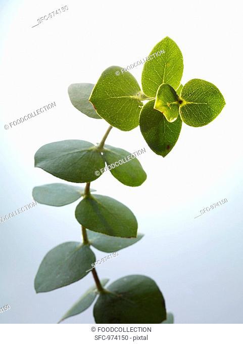 Sprig of eucalyptus