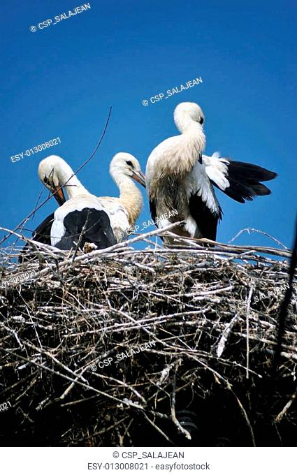 Three storks in the nest