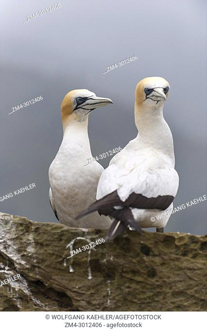 Australasian gannets (Morus serrator), also known as Australian gannet and Takapu, breeding on a small island in the Marlborough Sounds of the South Island in...
