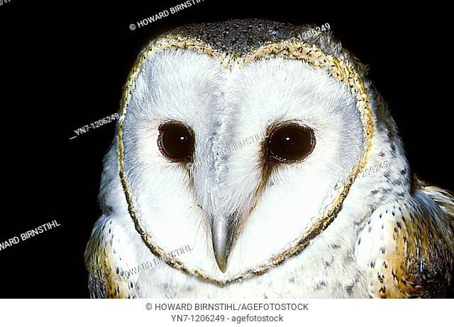 Barn owl close up Tyto alba