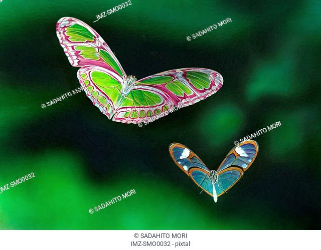 Two butterflies with heart shaped wings