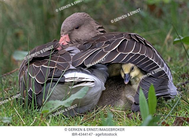 Greylag Goose (Anser anser) with chicks in plumage, Schleswig-Holstein, Germany