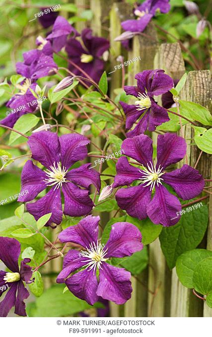 Clematis 'Etoile Violette' (Clematis viticella). McClendon, Bellingham. Washington, USA