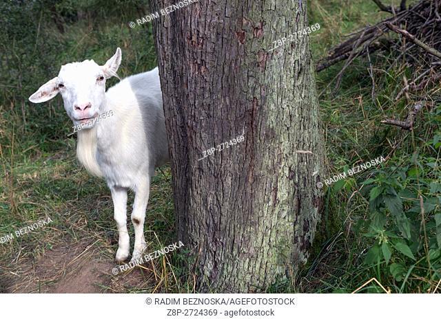 White goat, Czech Republic