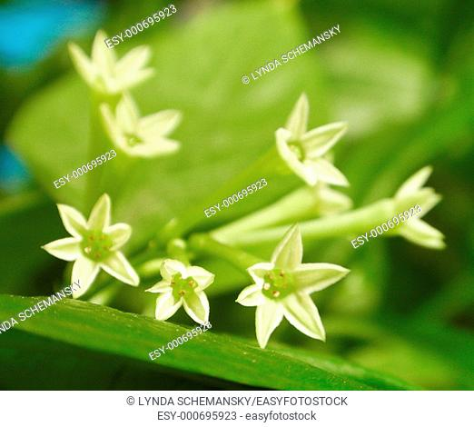 Night Blooming Jasmine Night Scented Jessamine, Queen of the Night, Cestrum nocturnum flowers