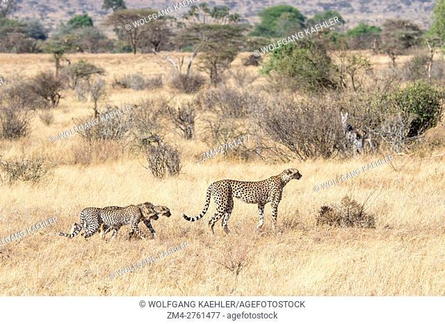 A Cheetah (Acinonyx jubatus) mother with cubs is looking for prey in the Samburu National Reserve in Kenya