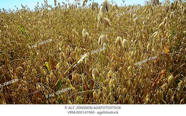 Field of oat