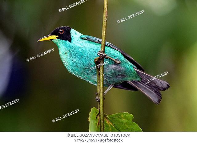 Green Honeycreeper (Male) - Laguna del Lagarto Lodge, Boca Tapada, San Carlos, Costa Rica