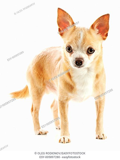 Beige chihuahua dog isolated on white background. Closeup