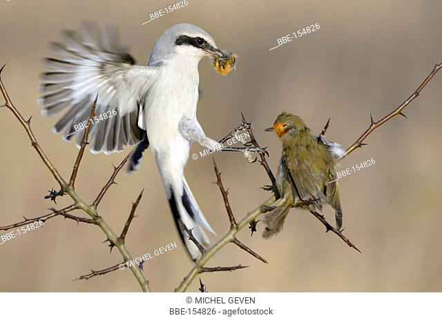 Great Grey Shrike eating from European Robin spiked on thorn of a Blackthorn