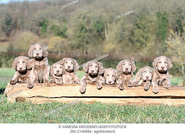dog Weimaraner longhair / nine puppies on a tree trunck