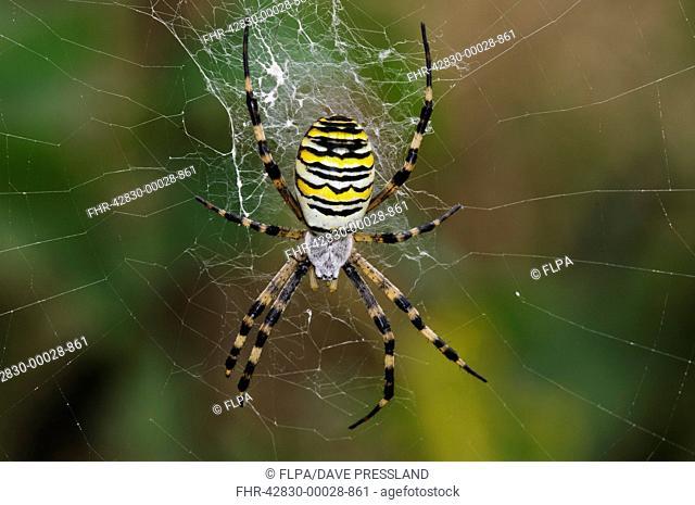 Black-and-yellow Orb-web Spider (Argiope bruennichi) adult female, in centre of web, Rainham Marshes RSPB Reserve, Thames Estuary, Essex, England, September