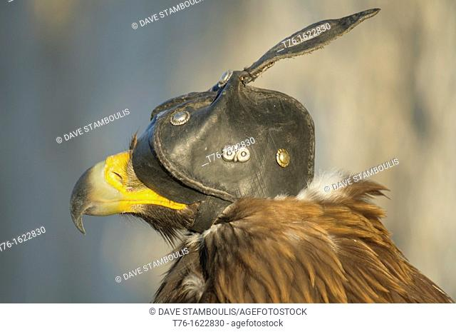 A Kazakh eagle hunter's golden eagle in the Altai Region of Bayan-Ölgii in Western Mongolia
