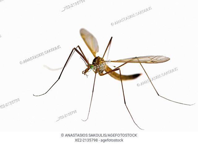Crane fly - Tipulidae, Crete