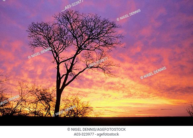 Kruger National Park scene, Sunset with White Seringa  tree. Mpumalanga, South Africa
