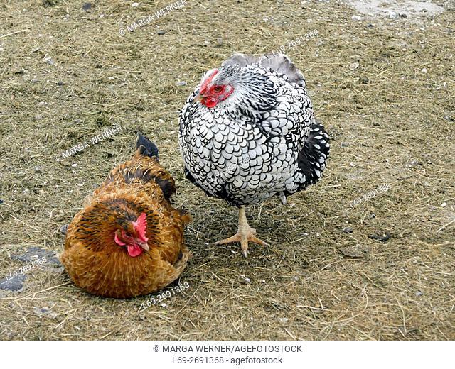 Domestic chicken, Gallus gallus domesticus, on Hallig Langeneß, Wadden Sea, North Sea, Schleswig-Holstein, Germany, Europe