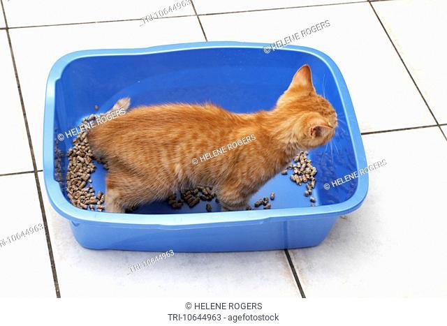 Ginger Kitten In Litter Tray