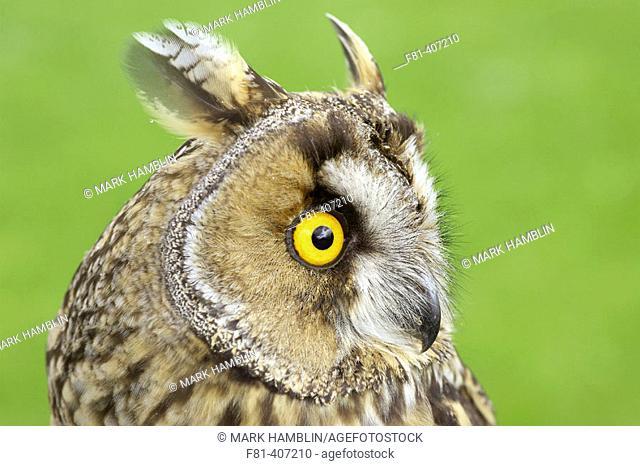 Long-eared owl (Asio otus), close-up portrait of adult. Scotland. UK