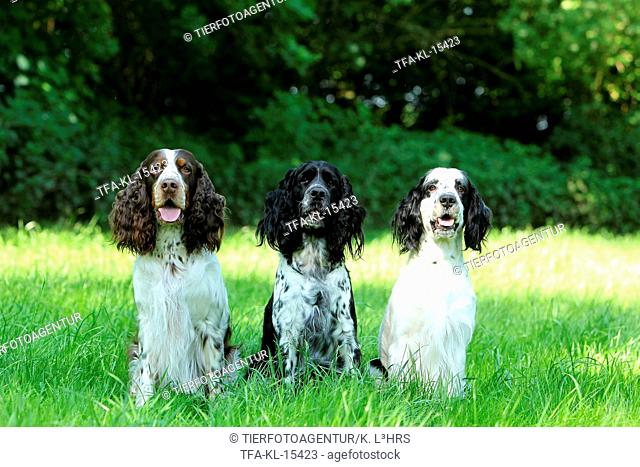 3 English Springer Spaniel