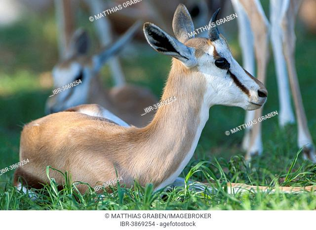 Young Springbok (Antidorcas marsupialis) lying in the grass, Kgalagadi Transfrontier Park, Northern Cape, South Africa