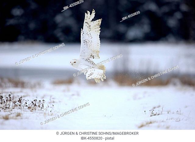 Snowy Owl, Snowy Owl, (Nyctea scandiaca), adult flying in winter, snow, Zdarske Vrchy, Bohemian-Moravian Highlands, Czech Republic