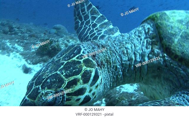 Green turtle . Maldives, Indian Ocean