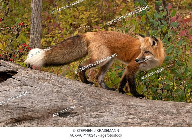 Red fox standing on log in autumn forest,(Vulpes vulpes), captive