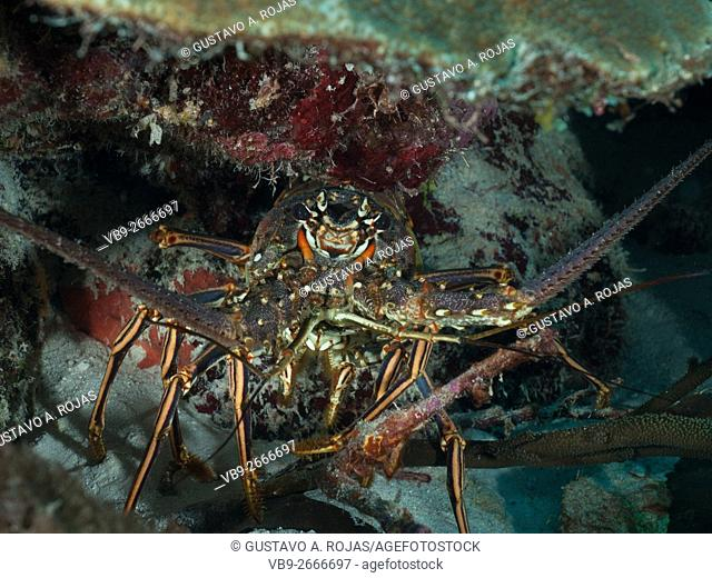 Spiny Lobster (Panulirus argus)