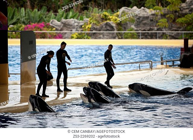 Trainers and Orcas during the show, Loro Parque, Puerto de la Cruz, Tenerife, Canary Islands, Spain, Europe