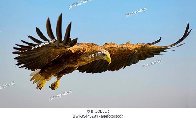 white-tailed sea eagle (Haliaeetus albicilla), in flight, side view, Hungary, Kiskunsag National Park