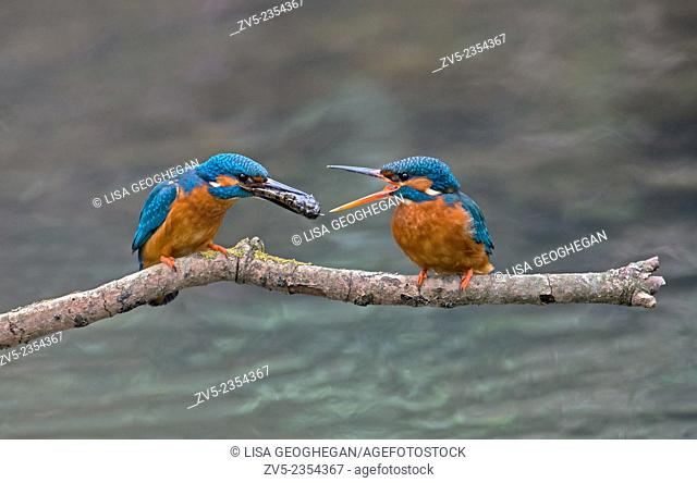 Male Common Kingfisher, Alcedo atthis, Offers Fish To Female During Courtship.UK