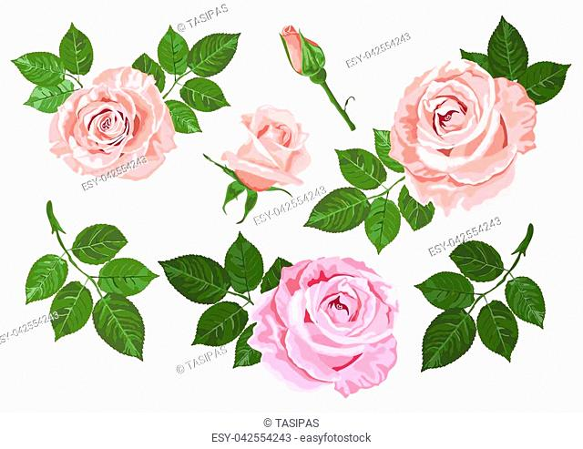 Pink and beige vector roses and green leaves elements set isolated on the white background for floral decoration