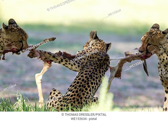 Cheetah (Acinonyx jubatus). Female and her two subadult female cubs struggle with the carcass of a springbok (Antidorcas marsupialis) lamb which has been killed...