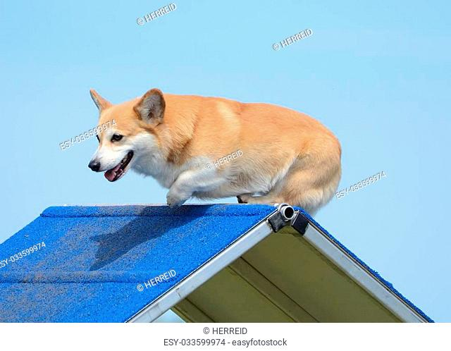 Pembroke Welch Corgi Climbing an A-Frame at a Dog Agility Trial