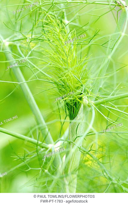 Fennel, Foeniculum vulgare, Close up detail showing network pattern.-