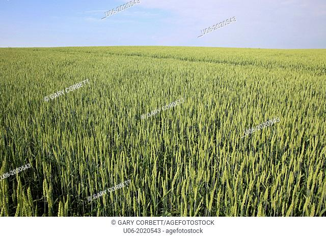 A large field of green hay or grass