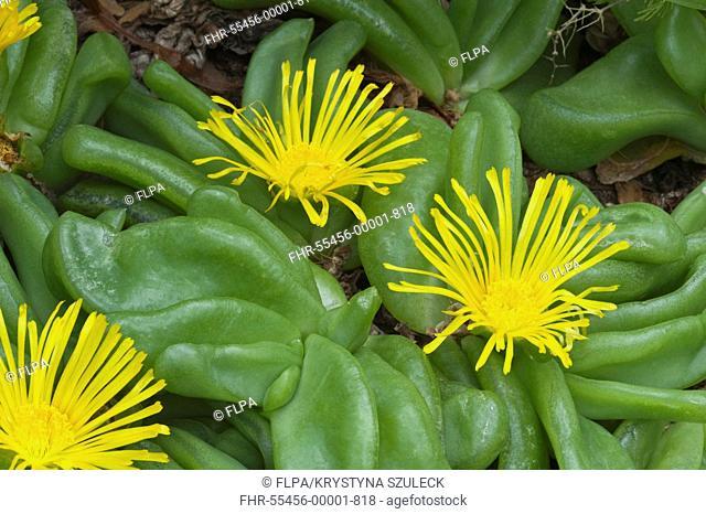 Tongue-leaf Glottiphyllum depressum flowering, Kirstenbosch National Botanical Garden, Cape Town, Western Cape, South Africa