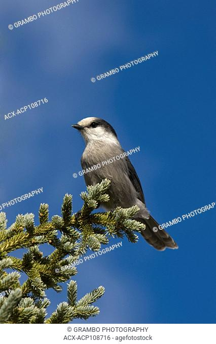 Gray Jay, Perisoreus canadensis, on evergreen tree against blue sky, Northwest Territories, Canada
