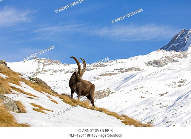 Alpine ibex (Capra ibex) male foraging in the snow in winter in the Gran Paradiso National Park, Italian Alps, Italy