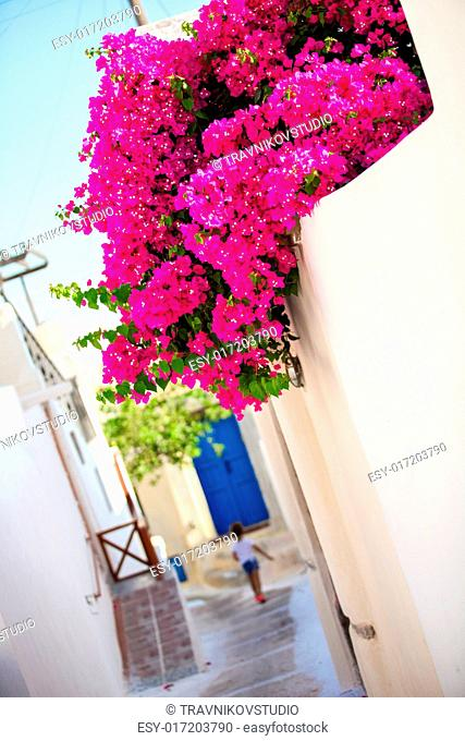 Beautiful cobbled streets with bougainvillea on the old traditional White House in Emporio Santorini, Greece