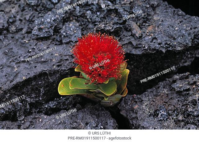 Sprout breaking through lava, Big Island, Hawaii, USA