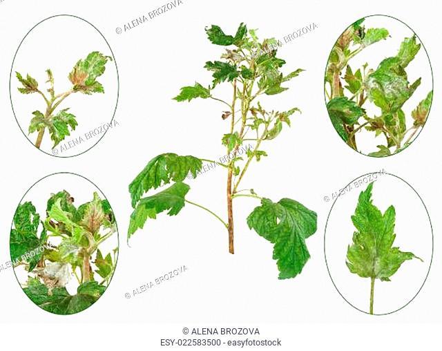 Infection of black currant by grey mould, Botrytis cinerea, Botryotinia fuckeliana