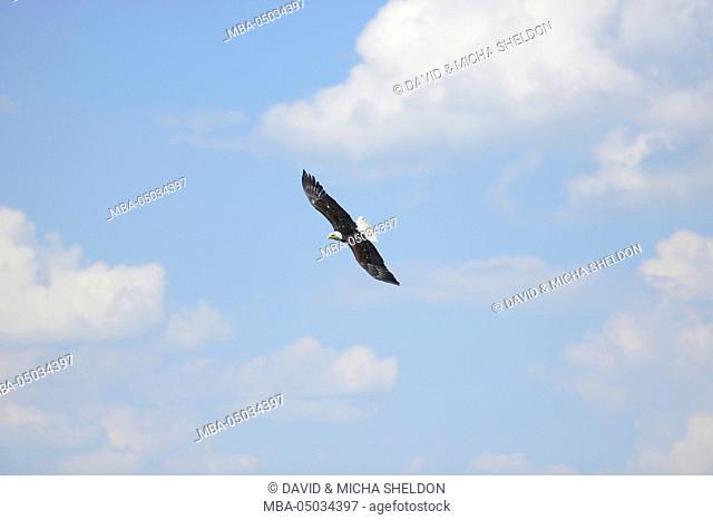 white-headed eagle, Haliaeetus leucocephalus, sky, side view, flying