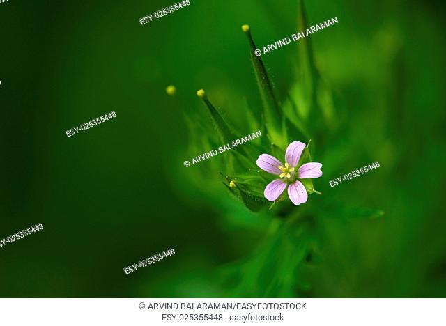 Closeup photo of a wild Geranium flower