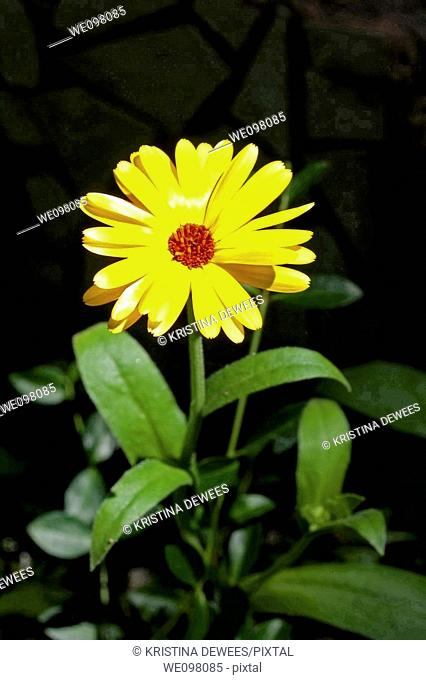 A single yellow calendula with a red center